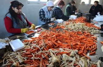 Najveća proizvodnja šargarepe na Balkanu – u selu Begeč.