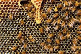 Istine i zablude o medu: Da li je med zdrav ili lekovit?